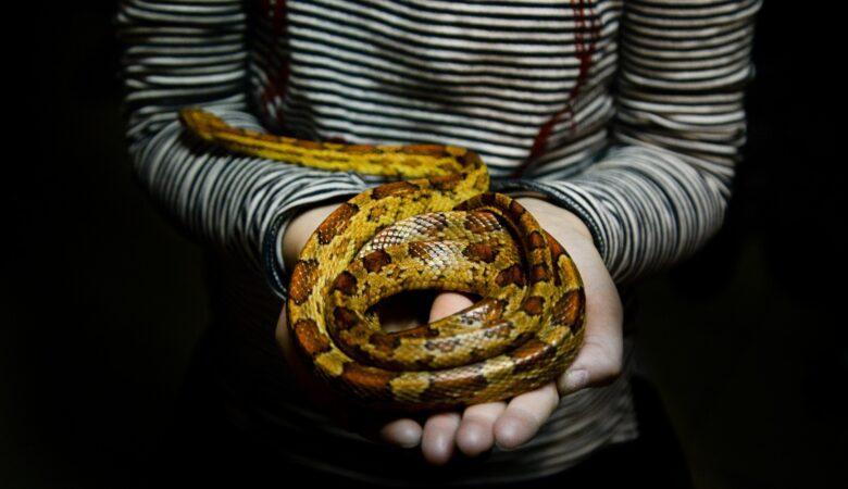 Gefährlich sind Schlangen meist nur dann, wenn sie sich bedrängt fühlen. Eine Schlage um den Hals haben ist daher nicht wirklich schlimm.