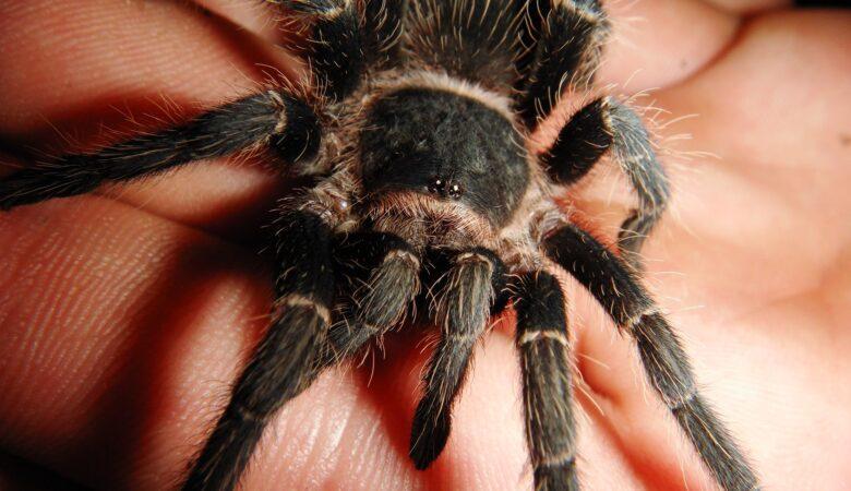 Bloß nicht zu genau hinschauen! Eine große Spinne auf der Hand halten ist für manche purer Horror.