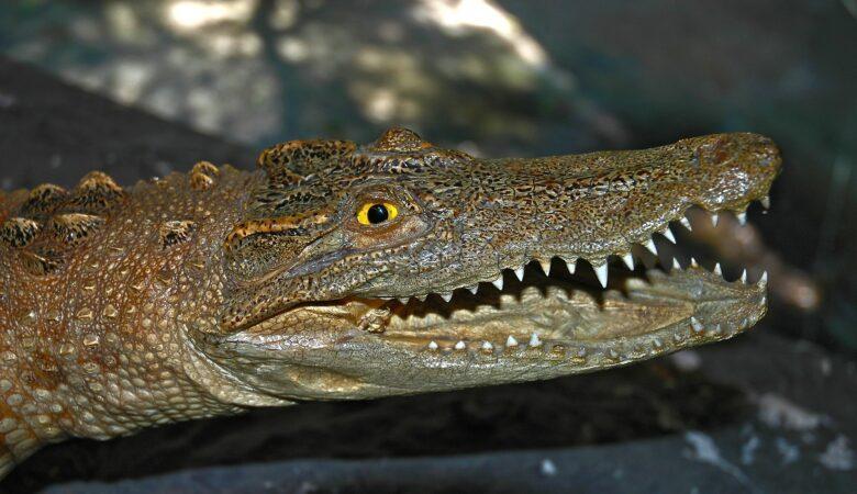 Alligatoren sehen immer aus, als würden sie lächeln. Krokodile tun dies nicht. Einen Aligator in den Händen halten ist ein unbeschreibliches Gefühl.